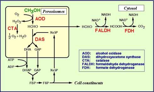 Methanol metabolism in the methylotrophic yeast